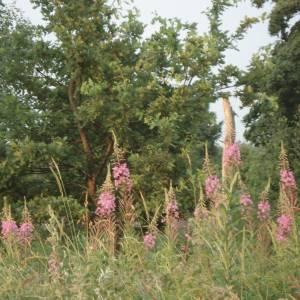 Põdrakanep on imeline taim - igatpidi kasutamaks. Minu jaoks on just põdrakanep kesksuve tähistav taim. Nii tore on jälgida, kuidas ta õied järk-järgult avanevad. Sellest, kui palju ladvas veel avanemata nuppusid on, saab ennustada, kui kauaks suve jätkub.