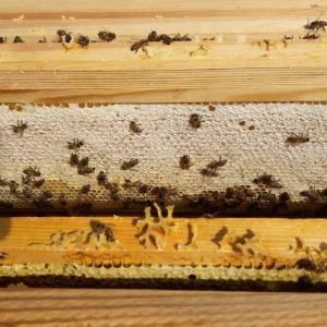 Nii küpseb Eesti mesi